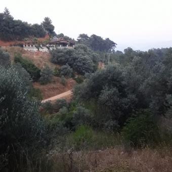Muğla Menteşe Derinkyu'da Kelepir ACİLLL Satılık Zeytinlik Tarla